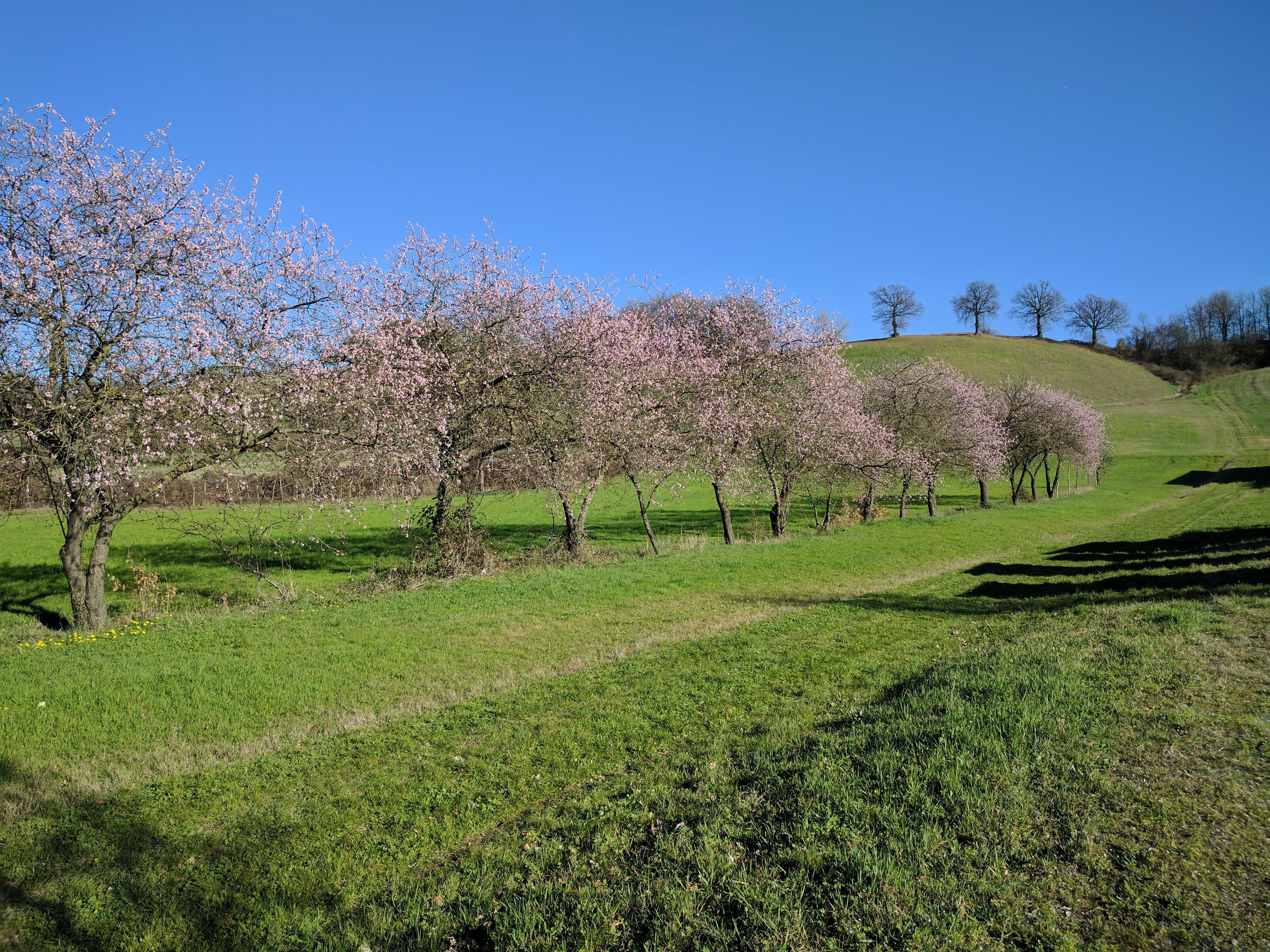 """Non c'è bisogno di andare in Giappone per ammirare dei magnifici alberi fioriti: anche il museo Guatelli ha il suo <a href=""""https://it.wikipedia.org/wiki/Hanami"""" target=""""_blank"""">Hanami</a>!"""